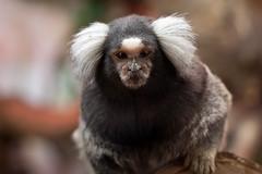 tufted capuchin(0.0), primate(0.0), capuchin monkey(0.0), macaque(0.0), animal(1.0), mammal(1.0), fauna(1.0), marmoset(1.0), close-up(1.0), old world monkey(1.0), new world monkey(1.0), whiskers(1.0), wildlife(1.0),