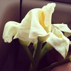 I forgot how fragile calla lilies are. (after an hour in the car :-/ )