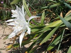 hymenocallis(0.0), garden(0.0), grass(0.0), erythronium(1.0), flower(1.0), leaf(1.0), hymenocallis littoralis(1.0), plant(1.0), flora(1.0),