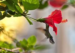Colibri II - Hummingbird II