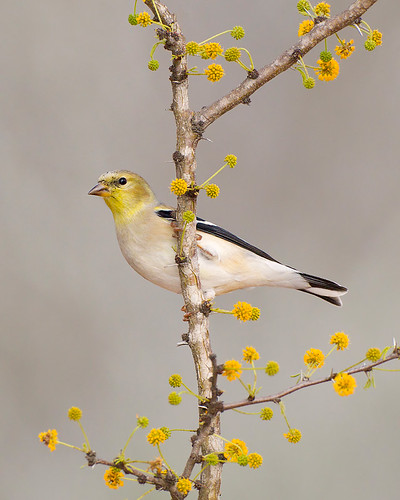 American Goldfinch on Huisache by Jeff Dyck