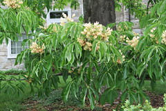 Buckeye (Aesculus flava or glabra?) tree in bloom