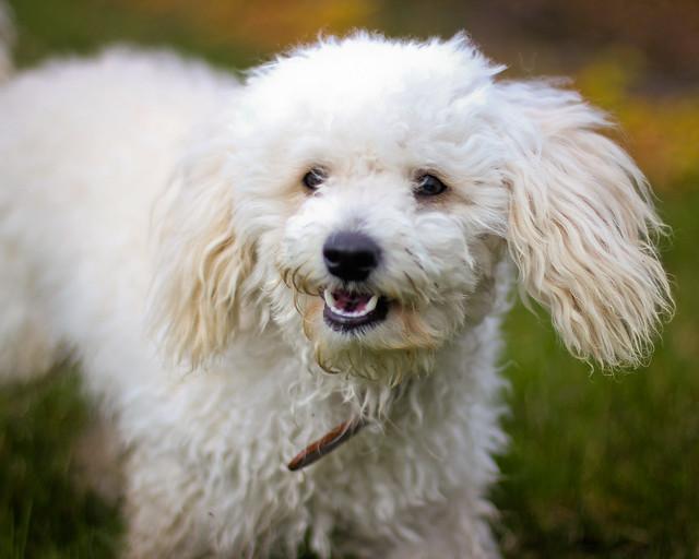 Flóki, Bichon Frise / Miniature Poodle | Flickr - Photo ...