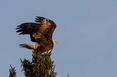 Eagle on Spruce_8727.jpg