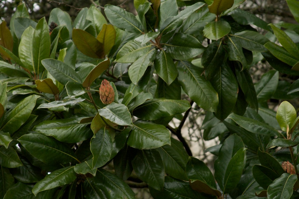 magnolia  1313