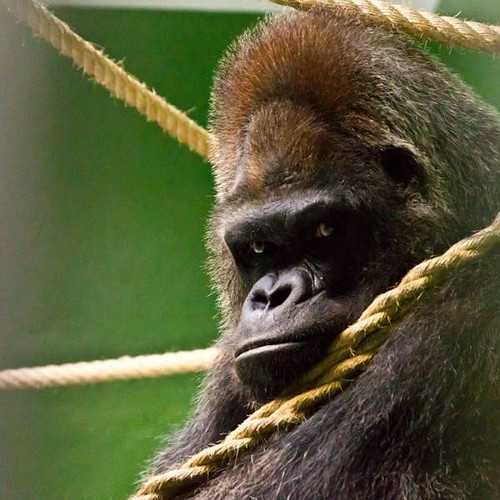 Schorsch -Gorila Loro Parque-