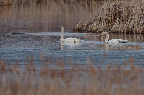 Two Swans and a Beaver_9666.jpg