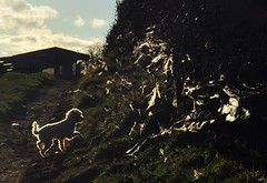 Rosie and the wool hedge