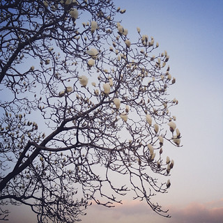 Sunset magnolia