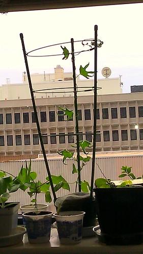 My ASAGAO garden in my office by Gerris2