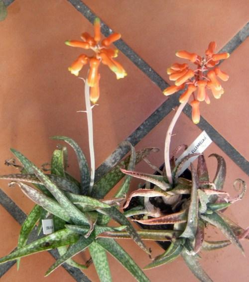 Aloe ellenbeckii 7042050605_f19a017264_o