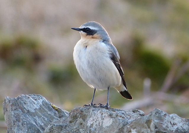 27076 - Wheatear, Isle of Mull