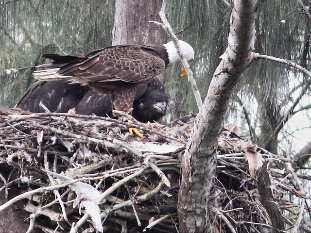 Bald Eagle male Pride at nest 20140317