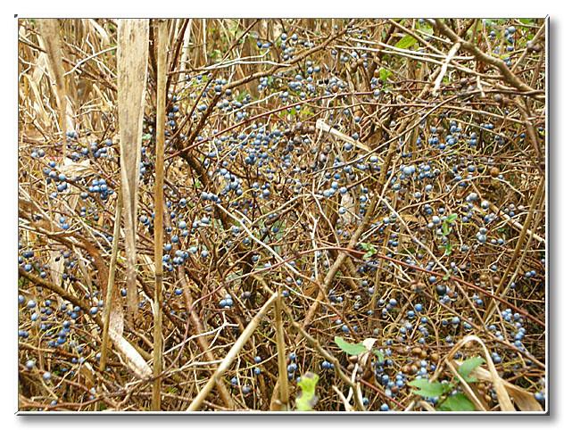 野鳥が食べる実の1つ,ナツハゼ.青色の実をつけ,熟すと黒くなっていく.