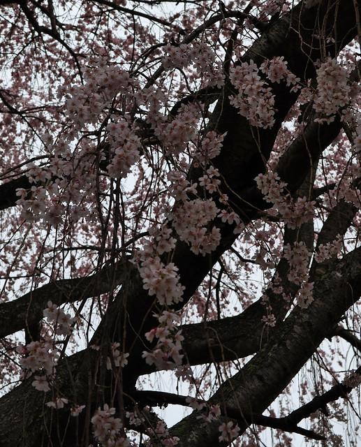 Prunus subhirtella 'Pendula' (1)