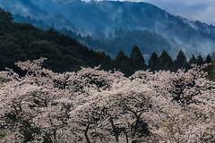 桜 SAKURA