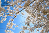 20140410_DogwoodTrees_VT_0026EW by kulmerphotography