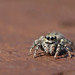 Jumping spider by Roger H3