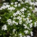 Small photo of Sweet woodruff (Galium odoratum)