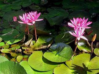 Djambulla - Lotusbloemen / Sri Lanka