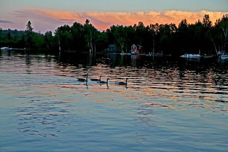 goose family at dusk2