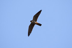 Hobby - Fowlmere