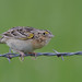 Grasshopper Sparrow by malcolmgold