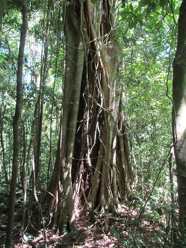 Santa Elena: un ficus, arbre parasite qui encercle un autre arbre jusqu'à le faire mourir. Reste alors le ficus creux.