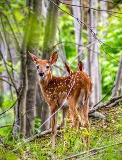 Butt ear Bambi @ Plainsboro Preserver
