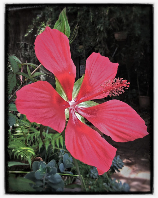 Hibiscus coccinea explore david urquhart 39 s photos on for 7194 garden pond