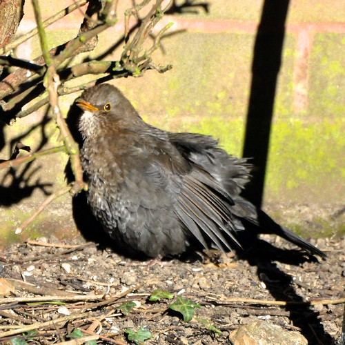 Blackbird, sunbathing