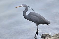 great egret(0.0), animal(1.0), wing(1.0), fauna(1.0), little blue heron(1.0), heron(1.0), pelecaniformes(1.0), beak(1.0), bird(1.0), wildlife(1.0), egret(1.0),