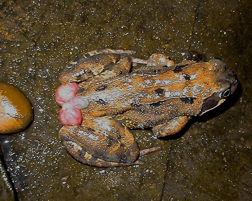 Frog animal facts nottinghamshire wildlife trust for 7194 garden pond