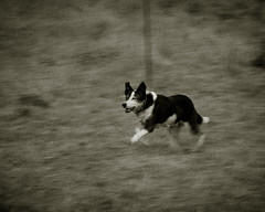Sheepdog in Hanmer Springs