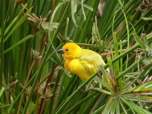 African Golden Weaver.2
