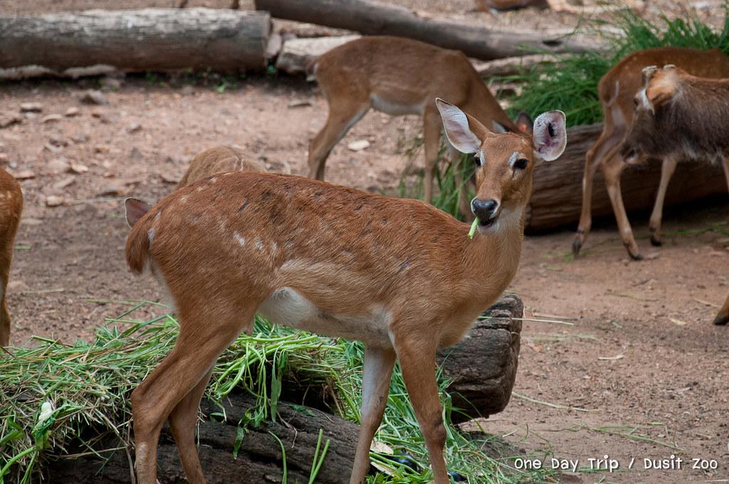 Dusit zoo - กวาง