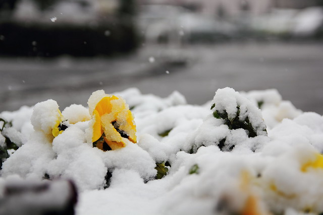 Snow in Matsudo (Chiba, Japan) from Flickr via Wylio