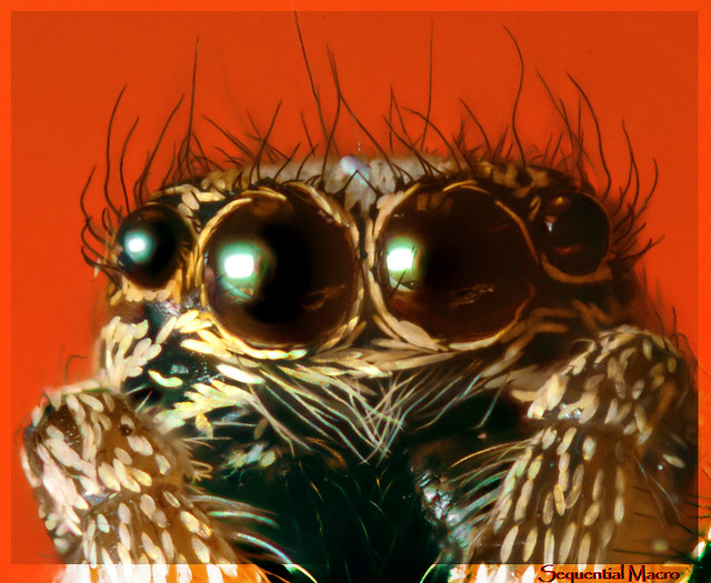 Anterior Median Eyes of an Adult Jumping Spider | Salticus Scenicus