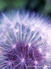 Dandelion Blue Filter