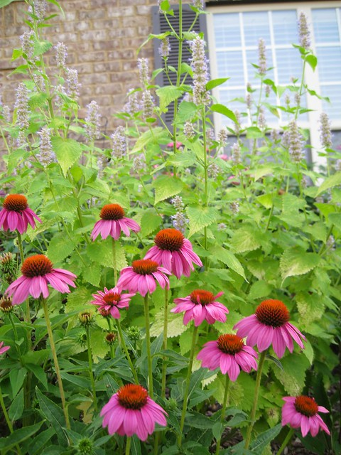 Echinacea 'Pow Wow Wild Berry' and Agastache 'Golden Jubilee'