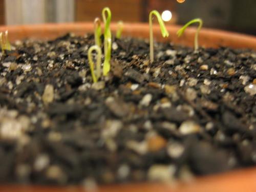 cilantro::coriander