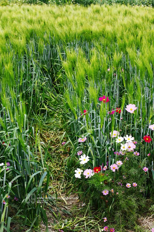 為何拍照就一定要鑽進麥田、花田、稻田內。。 你們為什麼不試著鑽入仙人掌叢裡頭
