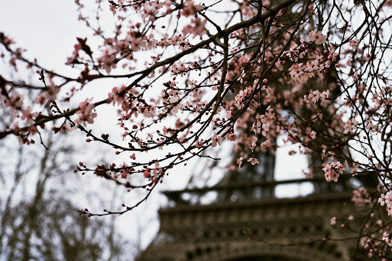 cherry blossom eiffeltower
