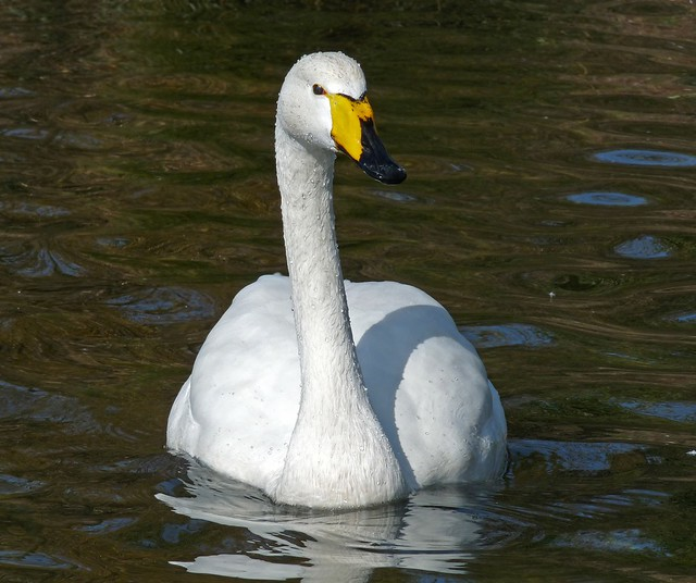 25689 - Whooper Swan, Cosmeston