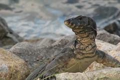lacerta(0.0), iguana(0.0), animal(1.0), reptile(1.0), lizard(1.0), komodo dragon(1.0), fauna(1.0), close-up(1.0), scaled reptile(1.0), wildlife(1.0),