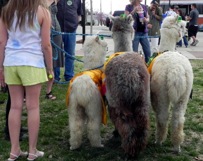 03-17-2012_Alpaca butts!