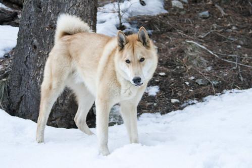 Ike - West Siberian Laika