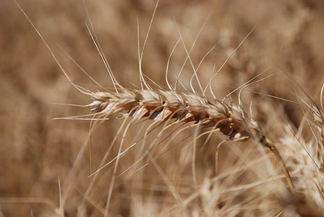 Head of Hard Red Winter wheat | Flickr - Photo Sharing!
