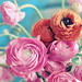 ranunculus bouquet by alice b. gardens