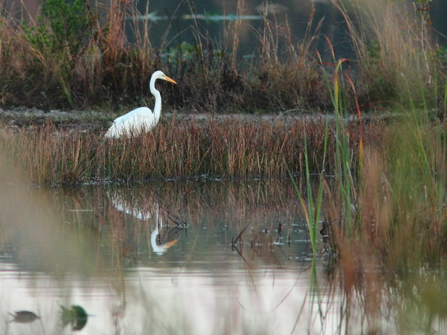 Great Egret 20120218